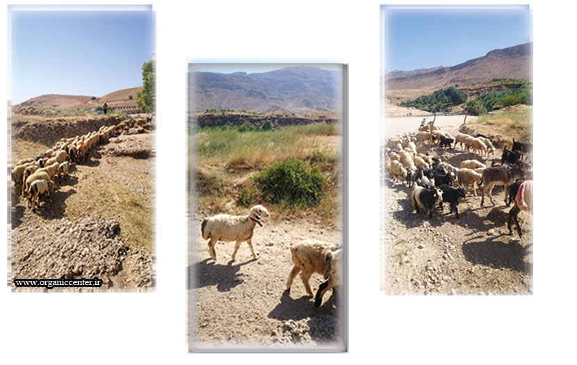 تولید گوشت گوسفندی ارگانیک