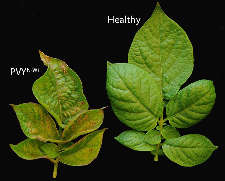 ویروس Y سیب زمینی