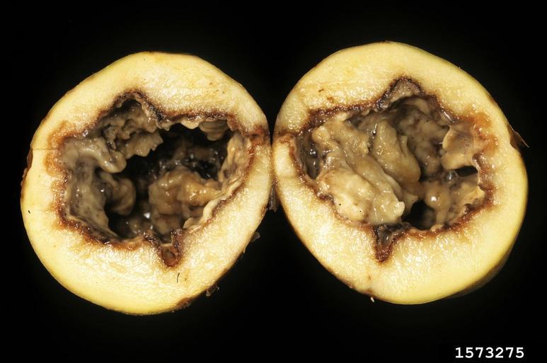 پوسیدگی نرم سیب زمینی