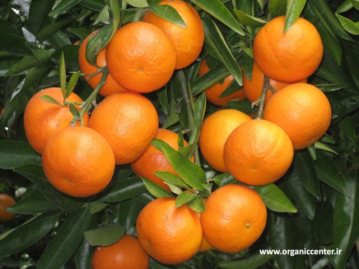 برداشت میوههای زمستانی