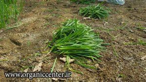 سبزیجات ارگانیک