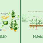 تفاوت بذر اصلاح شده و تراریخته